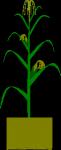 Maize-plant-300px